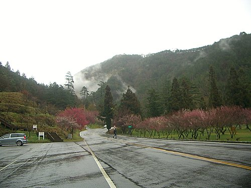 20080126-武陵農場賞櫻花
